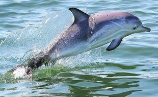 Un dauphin au large de Melbourne, le 14 décembre 2010.