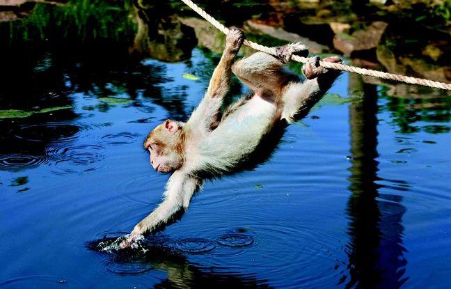 Un singe s'hydrate à la Montagne des singes, en Alsace.