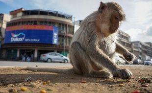 """Un macaque dans la """"ville des singes"""" en Thaïlande, le 20 juin 2020."""