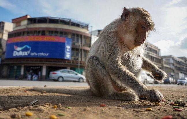 Royaume-Uni: Des supermarchés retirent des produits à base de noix de coco cueillies par des singes
