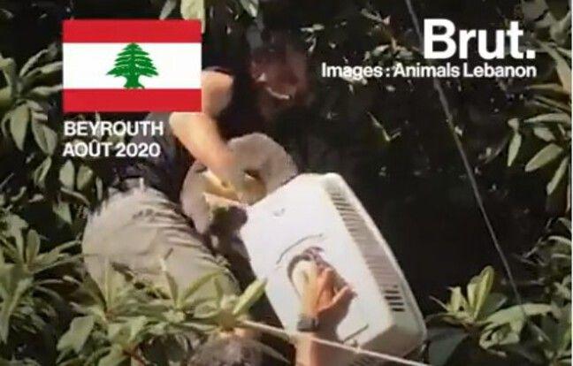 VIDEO. Explosion à Beyrouth: Le difficile sauvetage des animaux de compagnie