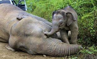 Six éléphants pygmées de Bornéo ont été retrouvés morts, vraisemblablement empoisonnés, au cours des dernières semaines, faisant craindre pour l'espèce en danger d'extinction.