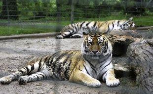 Plusieurs fauves seront exhibés à Wimille, dont un tigre.
