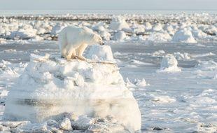 Un ours polaire dans l'Arctique (illustration).