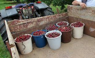 Récolte de cerises. (Illustration)