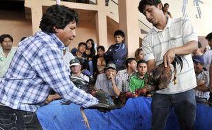 """La coutume des combats de coqs existe """"depuis que les coqs existent"""". Elle également populaire en Bolivie (photo d'illustration)."""