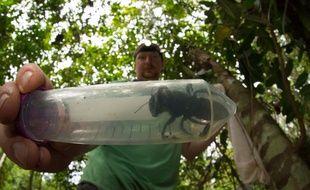 L'entomologiste Eli Wyman a découvert  une abeille de Wallace, dans la forêt tropicale d'une île reculée de l'Indonésie.