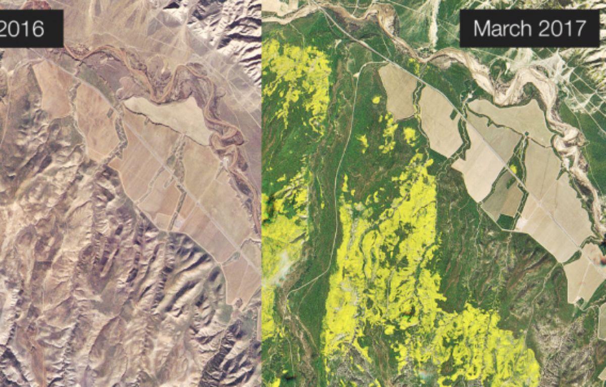 La forêt de Los Padres ( Californie) en décembre 2016 (gauche) et en mars 2017 (droite. Les zones jaunes sont les massifs floraux photographiés par un satellite de Planet Labs –  Screenshot Planet Labs