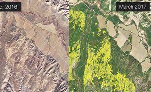 La forêt de Los Padres ( Californie) en décembre 2016 (gauche) et en mars 2017 (droite. Les zones jaunes sont les massifs floraux photographiés par un satellite de Planet Labs