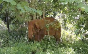 Un éléphant séparé de son troupeau en Chine en juin 2021 a été capturé et ramené dans sa réserve.