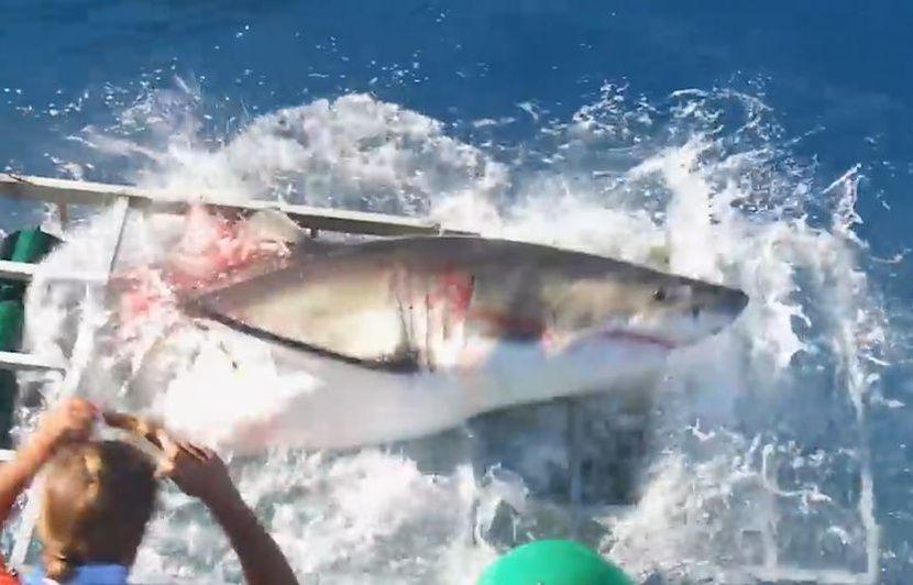 Un plongeur rencontre un immense requin blanc en Afrique du Sud