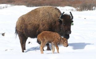 Un bison est né ce 22 avril 2017 dans le parc national de Banff, en Alberta (ouest), première naissance en 140 ans dans cet espace naturel des Rocheuses canadiennes.