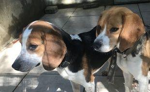 Les deux Beagles recueillis par la SPA