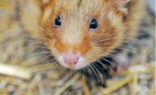 Le grand hamster d'Alsace.