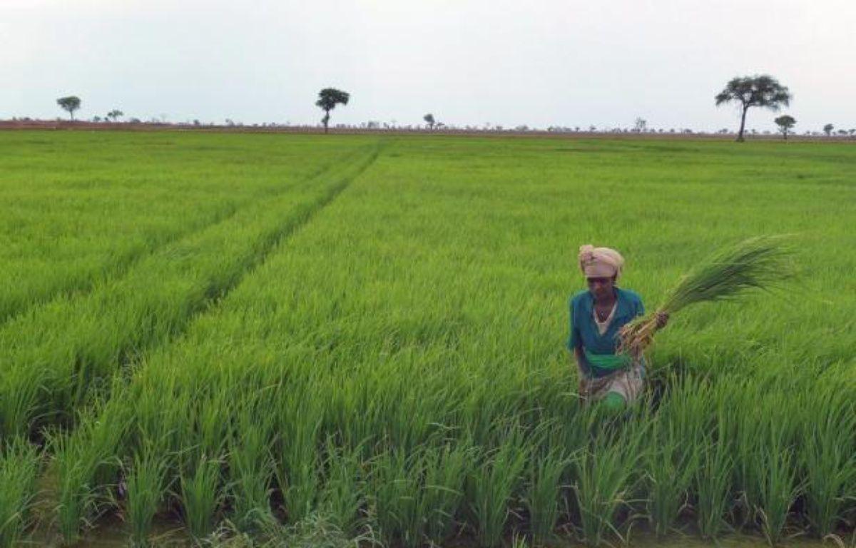 Aucune céréale n'est plus indispensable que le riz pour alimenter la planète: trois milliards d'humains en dépendent, aussi la troisième céréale la plus cultivée au monde est-elle l'objet d'intenses recherches scientifiques pour améliorer son rendement à l'hectare. – Jenny Vaughan afp.com
