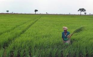 Aucune céréale n'est plus indispensable que le riz pour alimenter la planète: trois milliards d'humains en dépendent, aussi la troisième céréale la plus cultivée au monde est-elle l'objet d'intenses recherches scientifiques pour améliorer son rendement à l'hectare.