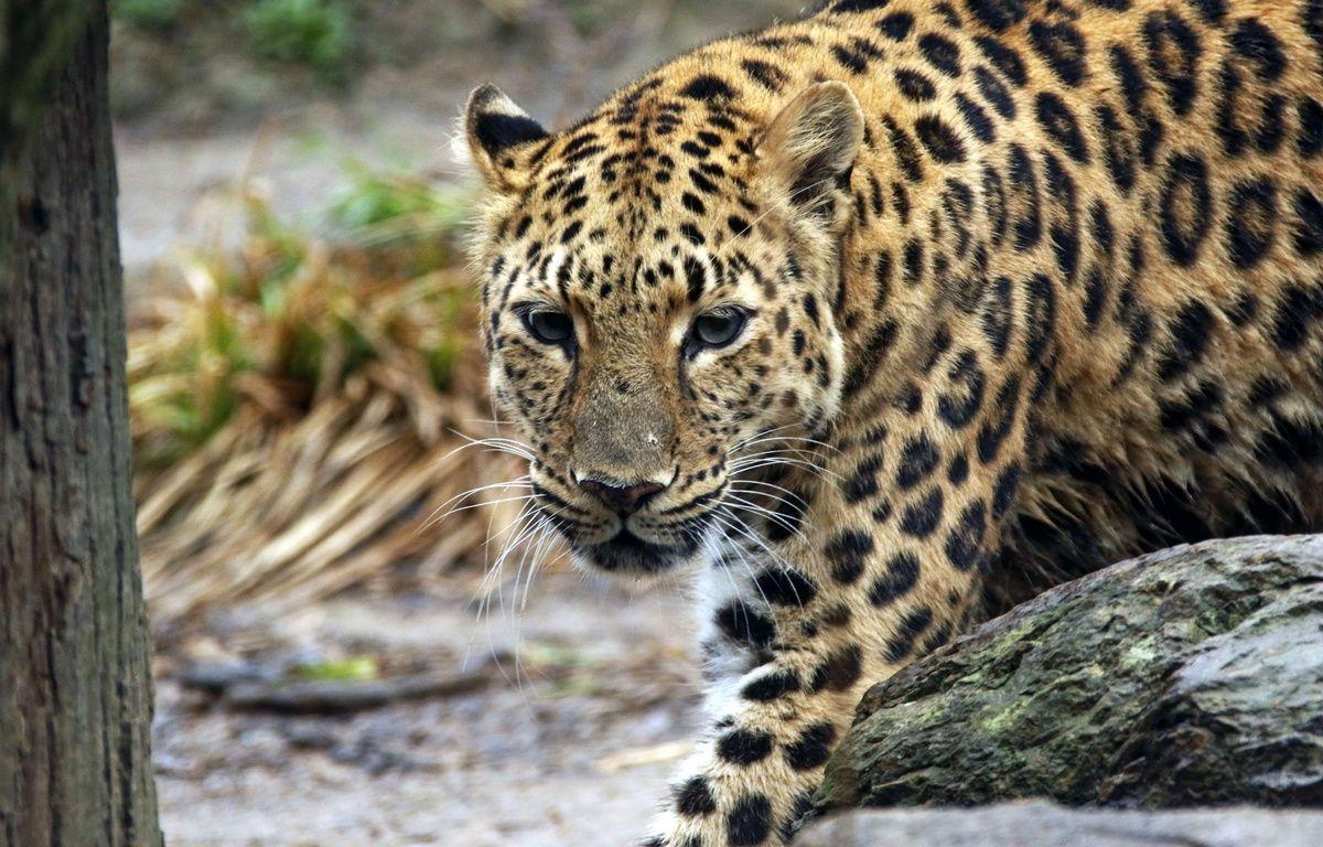 Un léopard a attaqué un homme sur un toit – Gene J. Puskar/AP/SIPA