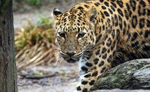 Un léopard a attaqué un homme sur un toit