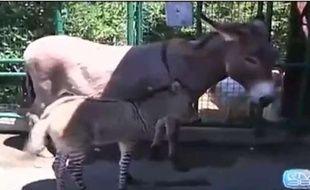 Capture d'écran d'une vidéo montrant Ippo, hybride né des amours d'un zèbre et d'une ânesse en juillet 2013.