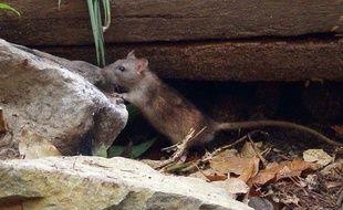 Un rat qui se balade dans un parc.