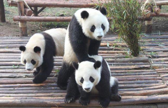 Des pandas jouent à la base de Chengdu, en Chine, le 17 novembre 2012.