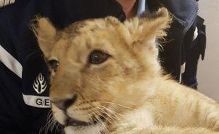 Le lionceau découvert dans les Pyrénées-Orientales