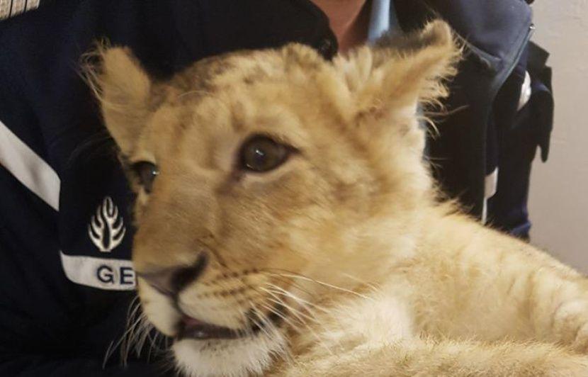 Pyrénées-Orientales : Le lionceau découvert en pleine nature a été pris en charge par un refuge