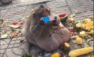 Uncle Fatty, le singe obèse star du Web