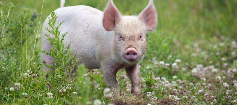 En matière de greffes d'organes, le cochon serait l'avenir de l'homme.