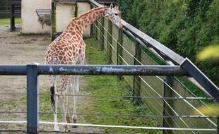 Une girafe dans un enclos au zoo de Pont-Scorff dans le Morbihan.