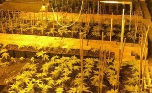 Les plants de cannabis poussaient sous lumière artificielle.