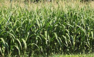 Un champ de maïs (illustration).