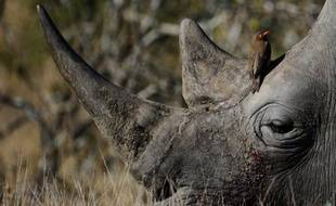 Des primes pouvant atteindre 90.000 euros seront offertes à quiconque permettra l'arrestation de braconniers de rhinocéros dans le célèbre parc Kruger, ont annoncé mercredi les autorités sud-africaines.