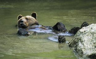 Un ours brun comme ceux qui vivent dans les Pyrénées. Illustration.