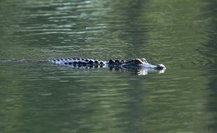 Le crocodile marin mesurait plus de quatre mètres de long. (image d'illustration)