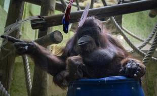 Nénette, l'orang-outan de la ménagerie du Jardin des plantes à Paris le 14 mars 2019.