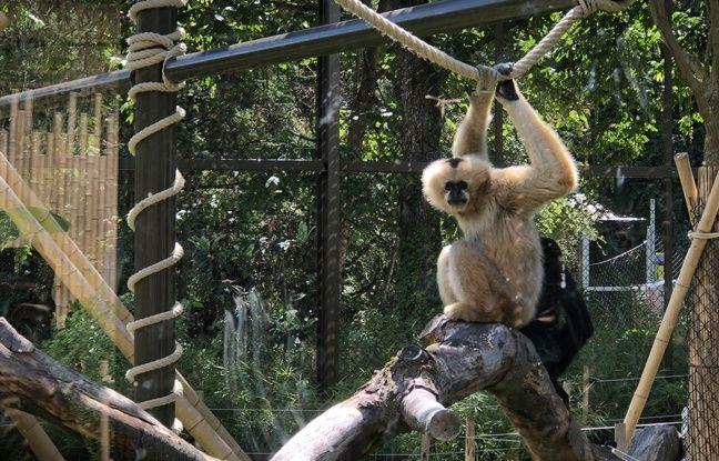 Une famille de gibbons a été installé dans l'une des immenses volières du parc de la tête d'or.