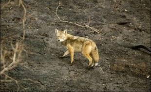 Un coyote, peut-être par l'odeur alléché, a choisi de faire sa pause déjeuner... dans un fast-food de Chicago (nord), a rapporté la presse locale mercredi.