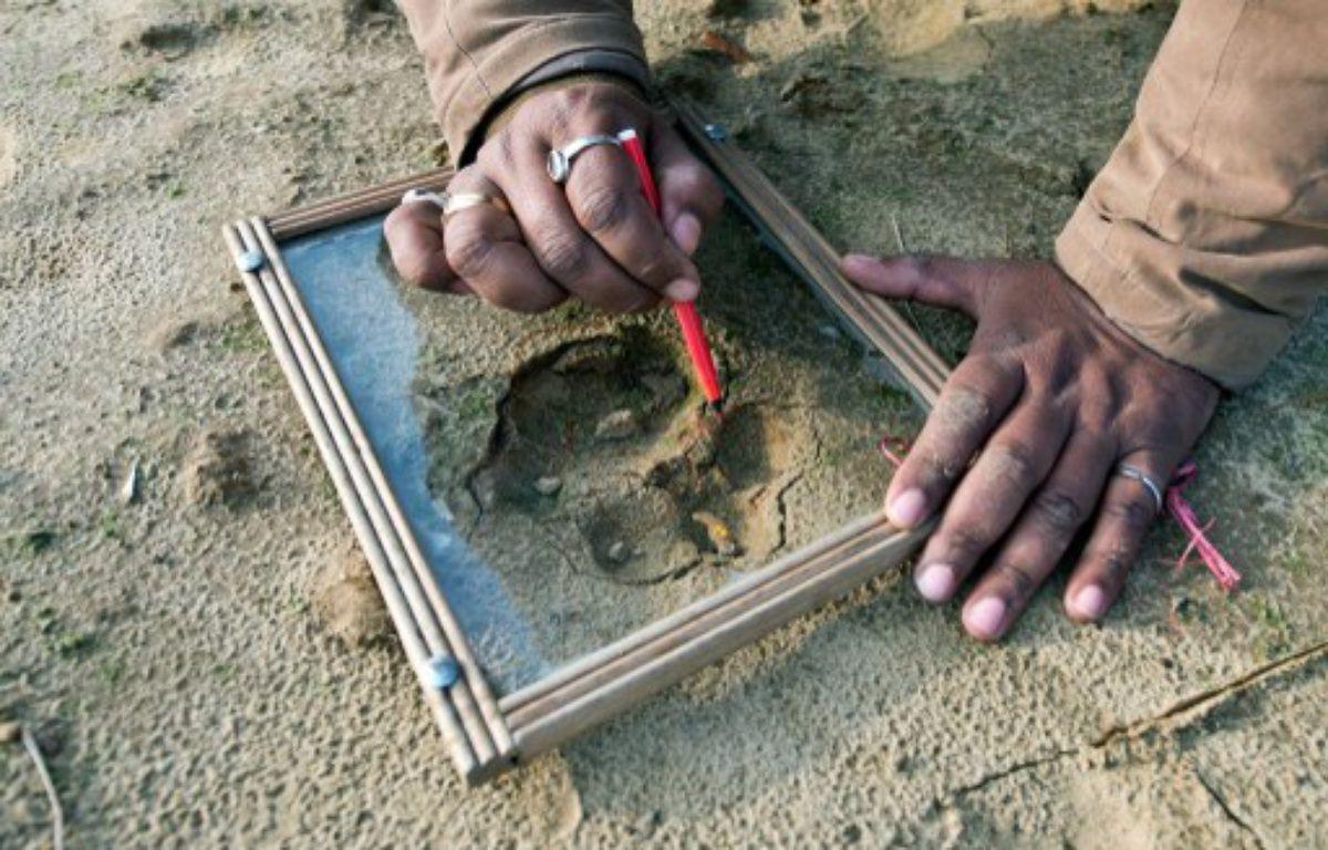 Un garde-forestier relève les empreintes du tigre mangeur d'hommes traqué depuis un mois dans le nord de l'Inde, le 2 février 2014. – AFP PHOTO/Prakash SINGH