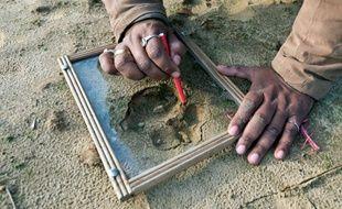Un garde-forestier relève les empreintes du tigre mangeur d'hommes traqué depuis un mois dans le nord de l'Inde, le 2 février 2014.