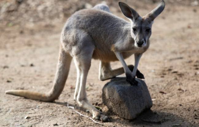 Un kangourou dans un zoo mexicain.