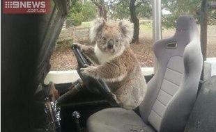 Un koala surpris  au volant d'une voiture en Australie, le 23 février 2015.
