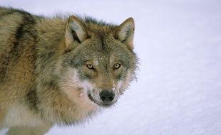 Illustration d'un loup européen.