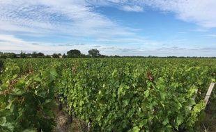 Vignes dans le Médoc (Gironde).