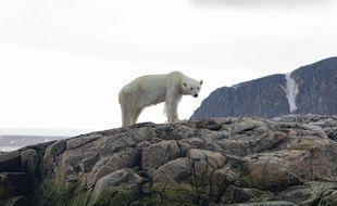 La population des ours blancs pourrait diminuer avec le réchauffement climatique.