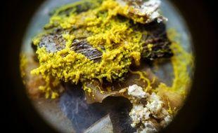 Un Physarum polycephalum, surnommé « le blob », est une espèce unicellulaire scruté de près par les scientifiques.