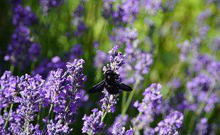 Le xylocope violet est une espèce d'insectes hyménoptères de la famille des Apidae (illustration).