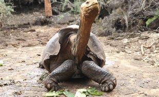 La tortue Diego est de retour sur son île d'origine d'Española.