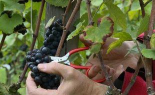 Une grappe de raisins pinot noir cueillie dans un vignoble