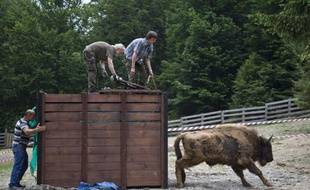 Un bison est lâché le 12 juin 2015 dans les monts roumains Tarcu, à proximité de la commune d'Armenis